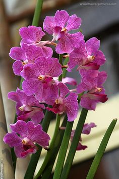 Vanda Prchids | Vanda orchids growing at an orchid farm in Saigon (Thu-Duc), Vietnam.