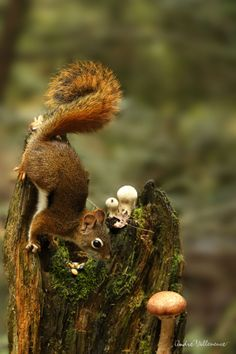 Agarica's Garden: Squirrel and #shrooms.