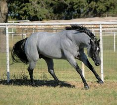 Gorgeous blue roan stallion