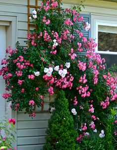 New Dawn & Pink Supreme Flower Carpet Rose. Like how roses drape over the top of spruce.