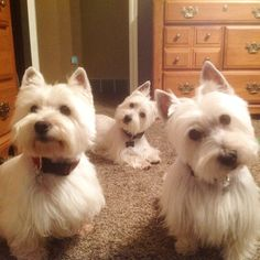 25 Photos To Prove That The Westie Is King Of Instagram