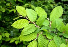Slippery Elm herb is nature's gift to us. Slippery Elm has many health benefits. It is a body detoxifier. Using this herb can be a sanity saver for many.