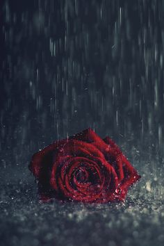 phone wall paper red Roses are red by Thomas van Trier on Beautiful Red Roses Images, Beautiful Rose Flowers, Beautiful Flowers Wallpapers, Pretty Wallpapers, Beautiful Beautiful, Flower Phone Wallpaper, Flower Wallpaper, Nature Wallpaper, Aesthetic Iphone Wallpaper