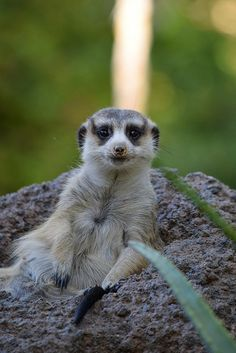 Cute little #meerkat poses for a picture.
