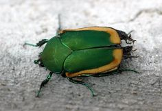 June bug - they're a rare sight now #South #Southern #june_bug