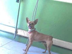 PAPPY -URGENT - L.A. COUNTY ANIMAL CARE CONTROL: CARSON SHELTER in Gardena, CA - Chihuahua • Adult • Male