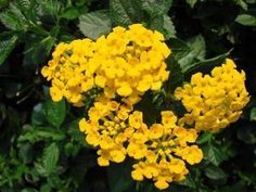 Chapel Hill Gold Lantana