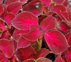 Coleus Pineapple Red | Horticultural Marketing Associates