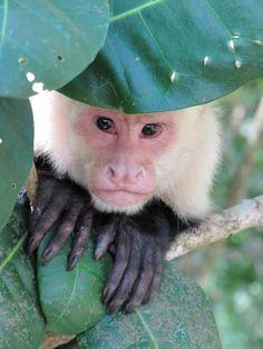 "Capuchin monkey in Manuel, Costa Rica from ""Pura Vida Magic"" by @littlegoldboat"