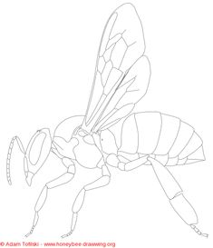 honey bee worker from honeybee.drawwwing.org  Lot's a great drawings and photos and information about Honeybees.