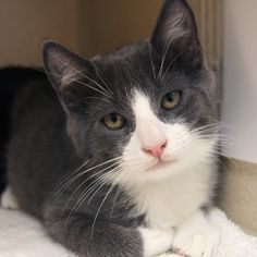 Adopted - Galaxy is a 3 1/2 month old, neutered male, gray and white Domestic Short Hair kitten.  Galaxy is a handsome boy with a friendly personality.  He loves to play and will do well with a kitty companion.  www.poainc.org  #graycat
