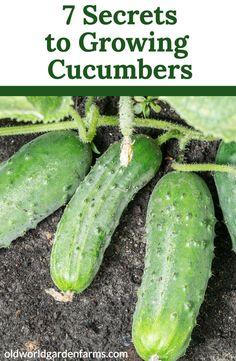 Growing Veggies, Growing Plants, Growing Zucchini, Growing Tomatoes, Organic Gardening, Gardening Tips, Texas Gardening, Gardening Books, Cucumber Plant