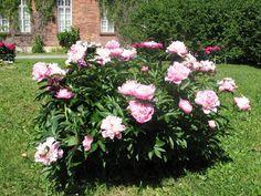 Pioni sopii yksittäiskasviksikin Garden Inspiration, Shrubs, Plants, Perennials, Tree, Peonies, Flora, Flowers