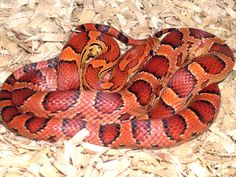 gorgeous corn snake