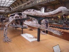 Sarcosuchus (Paris): When fully mature, Sarcosuchus is believed to have been as long as a city bus (11.2–12.2 metres or 37–40 ft) and weighed up to 8 tonnes (8.75 tons).[1] The largest living crocodyliform, the saltwater crocodile, is less than two-thirds of that length (6.3 meters or 20.6 ft is the longest confirmed individual) and a small fraction of the weight (1,200 kg, or 1.3 tons).
