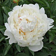 image de Paeonia Bowl of Cream