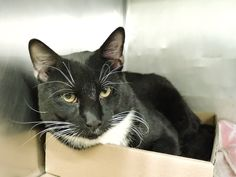 MELROSE - A1103447 - - Manhattan  ***TO BE DESTROYED 02/19/17***  VERY HANDSOME 3 YR OLD TUXIE NEEDS A RESCUE ANGEL TO GIVE HIM TIME TO CHILL AND LEARN TO TRUST IN A HOME!  NEEDS TO BE RESERVED BY NOON! -  Click for info & Current Status: http://nyccats.urgentpodr.org/melrose-a1103447/