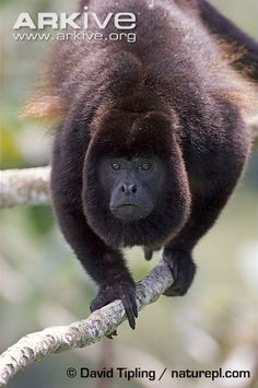 Male mantled howler monkey on branch, head profile