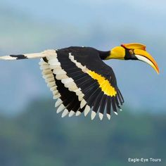 NEAR THREATENED:: The Great Hornbill is native to India and other parts of South Asia. Threatened by habitat loss and hunting.