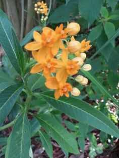 Yellow Butterfly weed - In the Gardens Today 6-11-2013