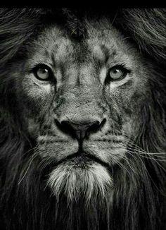 I Love Lion