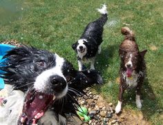 Border collies ready for summer shenanigans.