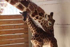The giraffe you've been waiting for made its long-awaited debut on a live stream that has, over the past few months, drawn millions of viewers.