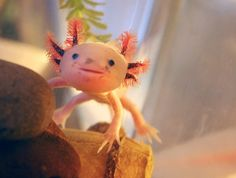 """Axolotl - """"Mexican Walking Fish."""" The axolotl is a type of salamander, native to Mexico. Its scientific name is Ambystoma Mexicanum."""
