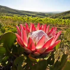Protea South Africa by Artland in Cape Town, printed on Canvas, contact us for prices on kdunbar@iafrica.com