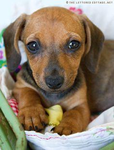 dachshund dachshund dachshund