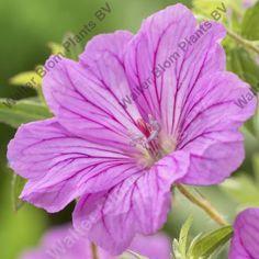GERANIUM hybrid 'Blushing Turtle' - Storkenæb, farve: rosa/mørke årer, lysforhold:sol, højde: 60 cm, blomstring: juni - september, god til bunddække, god til bier og andre insekter.