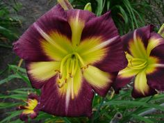 Little Lion Leonie from Hemerocallis Europa : Rupp Registered Daylilies made in Europe (engl.)