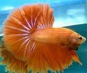 This male betta fish is orange, which is a somewhat rare color for a beta fish. He has a caudal fin, or tail fin, that has over a 180 degree span – which makes this betta a over half moon Underwater Creatures, Underwater Life, Colorful Fish, Tropical Fish, Poisson Combatant, Betta Fish Types, Fish For Sale, Fish Care, Beta Fish