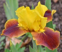 Iris ib Firebug