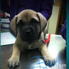 Buck is a 9 week old English Mastiff puppy. He won't be this small for long--he's almost 20lbs!