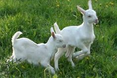 Image result for baby goat