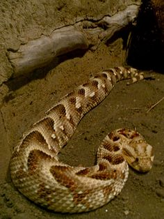 Puff adder, Bitis arietans is a venomous viper species found in savannah and grasslands from Morocco and western Arabia throughout Africa except for the Sahara and rain forest regions