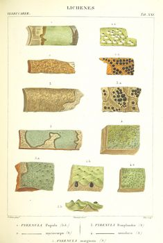 Image taken from page 335 of 'Essai sur les cryptogames des écorces exotiques officinales'   by The British Library