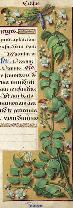 Viorne - Citisus (Clematis Vitalba L. = clématite des haies) -- Grandes Heures d'Anne de Bretagne, BNF, Ms Latin 9474, 1503-1508, f°196r