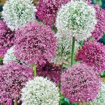 Our Giant Mixed Allium Super Bag features massive blooms. Flowers in late spring and lasts for weeks. Buy our super bag to enjoy a bigger display for less! Bulb Flowers, Perennial Bulbs, Bulbs For Sale, Deer Resistant Plants, Flowers, Perennials, Flower Seeds, Cottage Garden, Allium