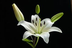 Ist der schwarze Hintergrund zu hart, oder passt es? Most Beautiful Flowers, Real Flowers, White Flowers, Day Lilies, Water Lilies, Lilly Flower, Spring Painting, Different Flowers, Hibiscus Flowers