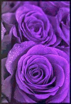 wide open Purple Roses