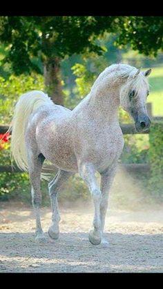 Flea Bitten Arabian