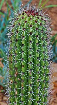 Stenocereus thurberi ~ The Organ Pipe Cactus. added link of interesting book about the Organ pipe cactus. GROWS IN SONORAN DESERT. not in Jalisco Succulent Bonsai, Cacti And Succulents, Planting Succulents, Planting Flowers, Agaves, Desert Cactus, Desert Plants, Cactus Plante, Drought Tolerant Plants