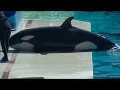 Orca Calf At SeaWorld San Diego Repeatedly Beaches Himself