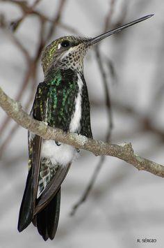 Foto bico-reto-de-banda-branca (Heliomaster squamosus) por Sérgio Cedraz | Wiki Aves - A Enciclopédia das Aves do Brasil