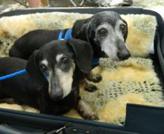 Please contact godiving@yahoo.com for more information about this pet.bonded pair8 years old Bonded pair spayed females 13 and 16 pounds adoption fee: $250 for the pair Hi we are Ginger and Tweetie. We are just over 8 years old and have been...
