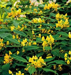 The first time I saw 'Jungle Gold' impatiens, I considered sneaking over at night and stealing it. It's so cool -- yellow impatiens with flowers that look like orchids. Unlike dwarf forms of impatiens, this one becomes a stout little shrub with thick, upright stems. Clusters of butter yellow flowers with dark red markings inside stand tall atop glossy foliage. (What other shade plant gives that color in summer?) A bit slow to start flowering at first, but takes off during summer.
