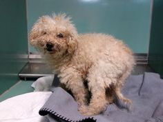 SAFE --- TO BE DESTROYED 10/30/14 SUPER URGENT 10/27/14 Brooklyn Center Ashley - A1018408 FEMALE, CREAM, POODLE TOY MIX, 6 mos STRAY - STRAY WAIT, NO HOLD Reason STRAY. Intake condition EXAM REQ Intake Date 10/22/2014, From NY 11208, DueOut Date 10/25/2014. https://www.facebook.com/Urgentdeathrowdogs/photos/a.611290788883804.1073741851.152876678058553/895482610464619/?type=3&theater