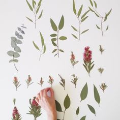 Pressed native leaves and flowers Double Sided Sticky Tape, Glass Picture Frames, Australian Native Flowers, Printed Linen, Native Plants, Dried Flowers, Flower Power, Nativity, Plant Leaves